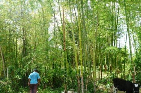 Con 480 mil plantones de bambú recuperarán suelos degradados en Pueblo Nuevo